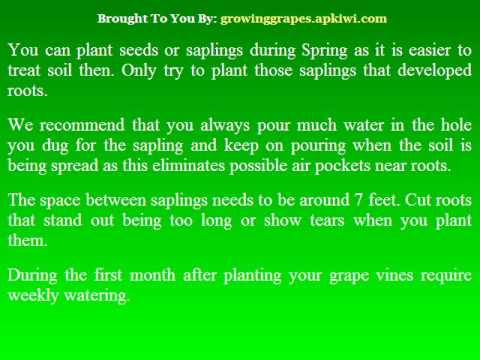 How You can Grow Grapes At Home.avi