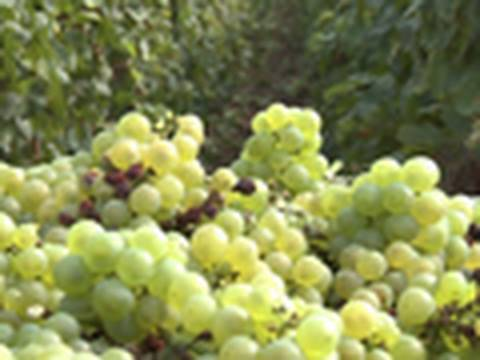Champagne: From Vine to Vintage